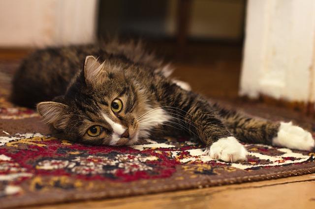 Jak vyčistit koberec od domácích mazlíčků (kočky a psa)